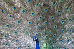 Indian Peafowl Royalty Free Stock Images