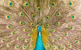 Indian peafowl (Pavo cristatus) in fan-like displaying Royalty Free Stock Image