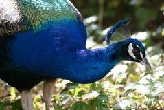 Indian Peafowl - Pavo Cristatus Stock Photography