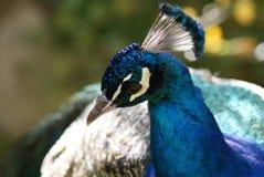 Indian Peafowl - Pavo Cristatus Stock Photos