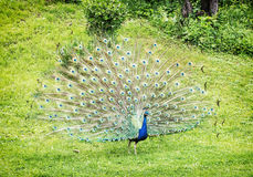 Indian peafowl - Pavo cristatus - male (peacock) displaying, vib Stock Images