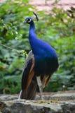 Indian peafowl (Pavo cristatus). Peafowl in the Prague ZOO Royalty Free Stock Photos