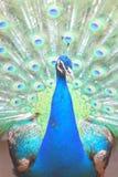 Indian Peafowl royalty free stock photo