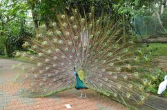 Indian peafowl / peacock shoeing off it`s tail. In a bird park Stock Photo