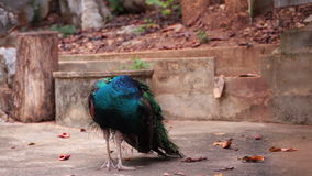 Indian Peafowl or peacock stand and dressing feathered on the ground stock footage