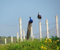 Indian Peafowl and Peahen - A Couple. This is a photograph of a male Indian peafowl and a female Indian peafowl also called peahen, sitting on a fence Royalty Free Stock Image