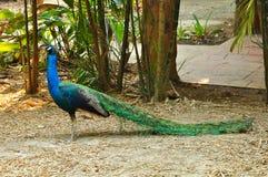 Indian Peafowl Royalty Free Stock Image