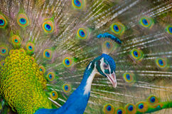 An Indian peafowl is spreading feathers to female Stock Images