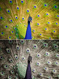 An Indian peafowl is spreading it's tail-feathers to the female Stock Photos