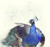 Indian Peafowl Watercolor Stock Photography
