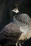 Indian peahen (Pavo cristatus) portrait Royalty Free Stock Photo