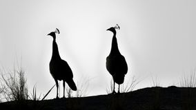Indian Peahens on a rocky top. Silhoutte stock images