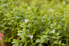 Indian pennywort, brahmi Bacopa monnieri, flowers on natural background. Indian pennywort, brahmi Bacopa monnieri, flowers have properties medicine Stock Image