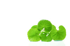 Indian pennywort brain tonic herbal plant. Stock Image