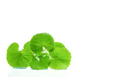 Indian pennywort brain tonic herbal plant. Stock Photography