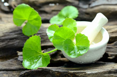 Indian pennywort, brain tonic herbal plant. Stock Photos