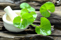 Indian pennywort, brain tonic herbal plant. Stock Image