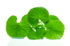 Indian pennywort brain tonic herbal plant. Royalty Free Stock Photography