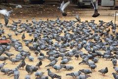 Indian Pigeons Stock Photo