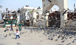 Indian Pigeons. Royalty Free Stock Photo