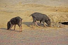 Indian pigs Royalty Free Stock Photography