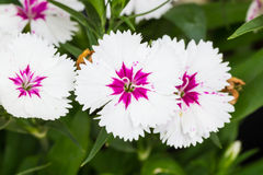 Indian pink, China pink flower Royalty Free Stock Images