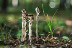 Indian Pipe Royalty Free Stock Images