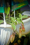 Indian Pitcher Plant Stock Images