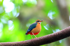 Indian Pitta Stock Photos