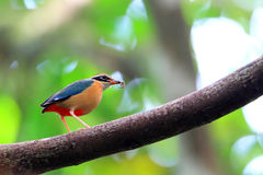 Indian Pitta Stock Photography