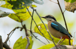 Indian Pitta. The Indian pitta Pitta brachyura is a passerine bird native to the Indian subcontinent. It inhabits scrub jungle, deciduous and dense evergreen Royalty Free Stock Image