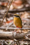 Indian pitta Royalty Free Stock Images