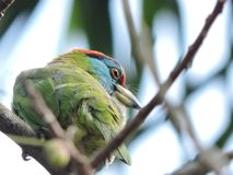 Indian Pitta stock images