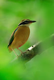 Indian pitta, Pitta brachyura, in the beautiful nature habitat, Yala National Park, Sri Lanka. Rare bird in the green vegetation. Asia stock photos