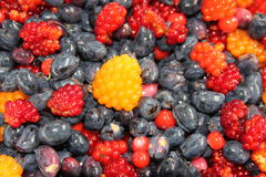 Indian Plums, Red Huckleberries and Salmon Berries. Indian plums dont taste good, red Huckleberries taste sour, and salmon berries taste sweet. I picked them all Stock Images