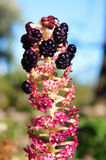 Indian poke, or pokeberry (phytolacca acinosa). close up. Royalty Free Stock Photo