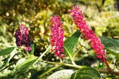 Indian poke, or pokeberry (phytolacca acinosa). triple portrait. Wonderful ornamental plant close up Royalty Free Stock Photo