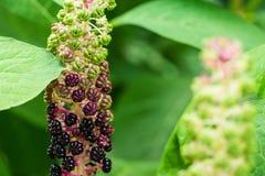 Indian Pokeberry Royalty Free Stock Photo