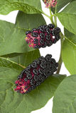 Indian Pokeweed berries Stock Images