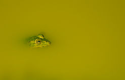 Indian Pond Frog Royalty Free Stock Images