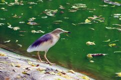 Indian Pond Heron Stock Photos