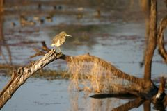 Indian pond heron Royalty Free Stock Photography