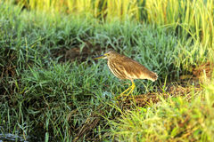 Indian Pond Heron Royalty Free Stock Photos
