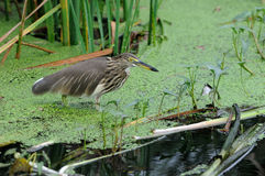 Indian Pond Heron Stock Images