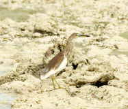 Indian Pond-Heron Royalty Free Stock Images
