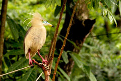 Indian Pond Heron Royalty Free Stock Image