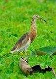 Indian Pond Heron (Ardeola grayii) Royalty Free Stock Photos
