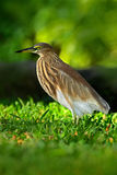 Indian Pond Heron, Ardeola grayii grayii, in the nature swamp habitat, Sri Lanka. Heron in the beautiful green grass. Bird from As Stock Photos