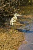 Indian Pond Heron Ardeola grayii,  India Royalty Free Stock Photography