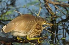 Indian Pond Heron Ardeola grayii Royalty Free Stock Photography